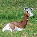 Gazelle At Rest 1 by Heather Jane