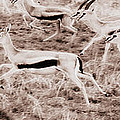 Gazelles Running by Chris Scroggins