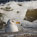 Gazing Gull by Lana Hauser