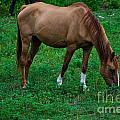 Gazing Horse by Scott Hervieux