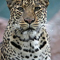 Gazing Leopard by Keith Bell