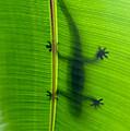 Gecko Silhouette by Dan McManus