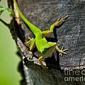 Gecko by Stephen Whalen
