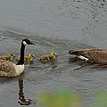 Geese And Goslings At The Flint River by Kim Pate