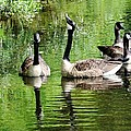 Geese And Green by Kim Bemis
