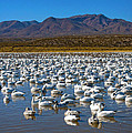 Geese At Bosque Del Apache by Kurt Van Wagner