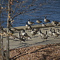 Geese At Port Landing by Stephanie Irvin