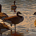 Geese At Sunset by Ted Guhl