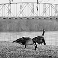 Geese By The Ohio by Jan M Holden