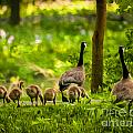 Geese Family by Michael Shake