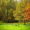 Geese Galore by Michael DArienzo
