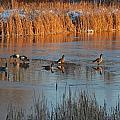 Geese In Wetlands by Tana Reiff
