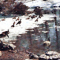 Geese On An Icy Pond by Susan Savad