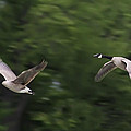 Geese Pair In Flight by Brian Wallace