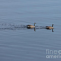 Geese Reflected by Leone Lund