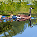Geese Ripples by Shell Ette
