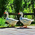 Geese Strolling In The Garden by Tracie Kaska