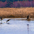 Geese Up And Away by Scott Hervieux
