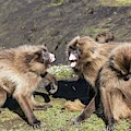 Gelada Baboons Threat Display by Peter J. Raymond