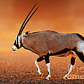 Gemsbok On Desert Plains At Sunset by Johan Swanepoel
