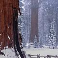 2m6835-general Sherman Tree - Giant Sequoias by Ed  Cooper Photography