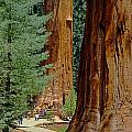 2m6811-general Sherman Tree by Ed  Cooper Photography