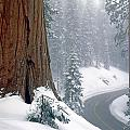 2m6836-generals Highway In The Giant Sequoias by Ed  Cooper Photography