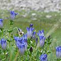 Gentian Wildflowers by Pam Little