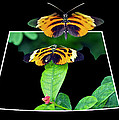 Gentle Butterfly Courtship 01 Out Of Bounds by Thomas Woolworth