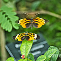 Gentle Butterfly Courtship 01 by Thomas Woolworth
