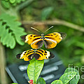 Gentle Butterfly Courtship 02 by Thomas Woolworth