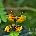 Gentle Butterfly Courtship 03 by Thomas Woolworth