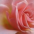 Gentle Pink Rose by Tara  Shalton
