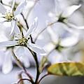 Gentle White Spring Flowers by Elena Elisseeva