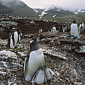 Gentoo Penguin And Chicks South Georgia by Gerry Ellis