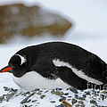 Gentoo Penguin On Nest by John Shaw