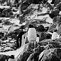 Gentoo Penguin On Rocky Landscape On Port Lockroy Antarctica by Joe Fox