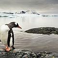 Gentoo Penguins, Antarctica by Paul Souders