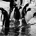Gentoo Penguins On Rocky Shoreline On Port Lockroy Antarctica by Joe Fox