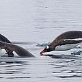 Gentoo Penguins Porpoising Paradise Bay by Matthias  Breiter