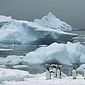 Gentoo Penguins With Icebergs Antarctica by Tui De Roy