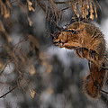 George Eating Maple Seeds In Winter by  Onyonet  Photo Studios