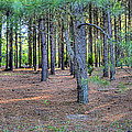 Georgia Pine Forest by Gordon Elwell