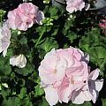 Geranium In Pink by Rosita Larsson
