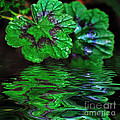 Geranium Leaves - Reflections On Pond by Kaye Menner