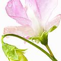 Geranium Pink by Anne Gilbert