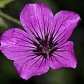 Geranium Sanguinium by Richard Thomas