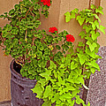 Geraniums And Ivy by Barbara McDevitt