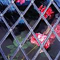 Geraniums Under Glass In Wales by Marcus Dagan