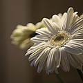 Gerber Daisy Flower  by Raleigh Art Gallery
